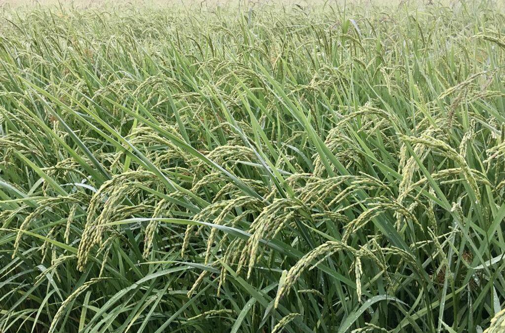 Incontriamo il riso